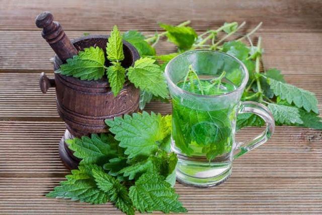 Кропива: лікувальні властивості і протипоказання, відвар, сік і чай, користь і шкода