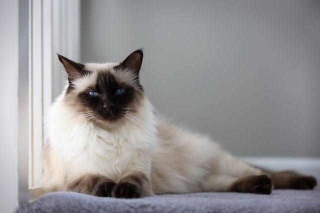 Гіпоалергенні породи кішок і котів на яких немає алергії