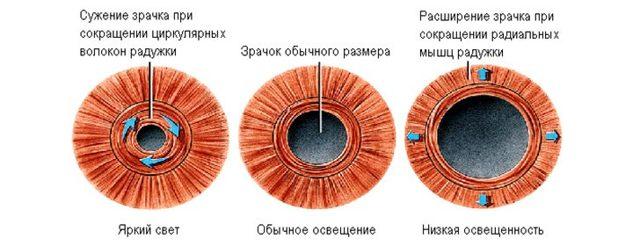 Зіниця ока: що це таке, яку функцію виконує, будова, де розташований